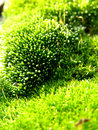 Carpet Moss, Extreme Closeup Royalty Free Stock Photo