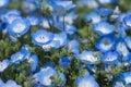 Carpet of Nemophila, or baby blue eyes flower Royalty Free Stock Photo