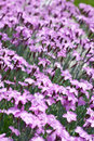 Carpet of purple mini carnation flowers Stock Image