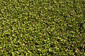 Carpet of water hyacinth Stock Photography
