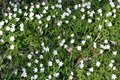 Carpet of white anemones in forest Royalty Free Stock Photography