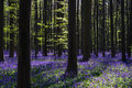 Carpet Of Wild Bluebells In Un...