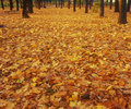 Carpet of yellow autumn leaves. Royalty Free Stock Photos