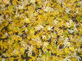Carpet of yellow leaves  Royalty Free Stock Image