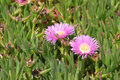 Carpobrotus edulis Stock Images