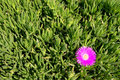 Carpobrotus edulis Stock Photo