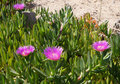 Carpobrotus edulis blossom beautiful of Royalty Free Stock Image