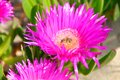 Carpobrotus edulis flower italy fico degli ottentotti with bee con ape Royalty Free Stock Photo