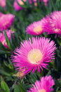 Carpobrotus edulis - Ice plant Royalty Free Stock Photo