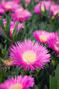 Carpobrotus edulis - Ice plant Royalty Free Stock Image