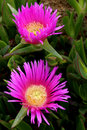 Carpobrotus edulis a succulent plant creeping native to the cape region in south africa in regions with similar climate such as Stock Photography