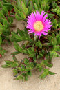 Carpobrotus edulis a succulent plant creeping native to the cape region in south africa in regions with similar climate such as Royalty Free Stock Photos