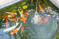 Carps in pond with spring Stock Photos