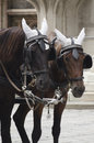 Carriage horses near stephansdom cathedral vienna austria Stock Photography