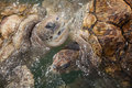 Carribean sea turtles large at the surface of the ocean Royalty Free Stock Images