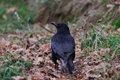 Carrion Crow Royalty Free Stock Photo