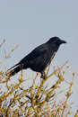 Carrion crow corvus corone singe bird on branch Royalty Free Stock Photo