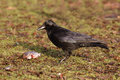 Carrion crow corvus corone singe bird on ground Royalty Free Stock Image