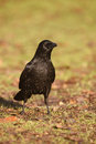 Carrion crow corvus corone singe bird on ground Royalty Free Stock Photography