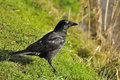 Carrion crow standing on grass near river bank Stock Images