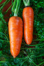Carrot with tops close up shot Royalty Free Stock Images