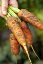 Carrots-1 Fotos de archivo