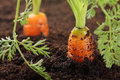 Carrots growing in the soil, Royalty Free Stock Image