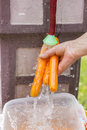 Carrots hand rinsing three organic under faucet Stock Image