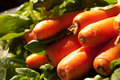 Carrots in Season Stock Photography