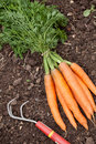 Carrots on the soil with hark Royalty Free Stock Image