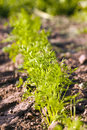 Carrots sprouts of the green photographed by a close up small depth of sharpness Royalty Free Stock Images