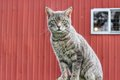 Grey Barn cat Royalty Free Stock Photo