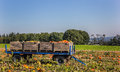 Cart with pumpkins in the field Royalty Free Stock Photo