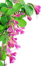 Carte postale rose de Weigela Photos libres de droits
