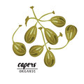 Cartoon capers. Ripe green vegetable. Vegetarian delicious. Eco organic food. Flat vector design, on white background.