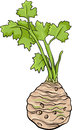Cartoon illustration of celery root vegetable food object Stock Photos