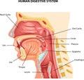 Cartoon illustration of Human Digestive System