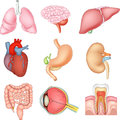 Cartoon illustration of Internal organs anatomy