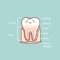 Cartoon tooth anatomy chart Royalty Free Stock Photo