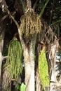 Caryota urens palm