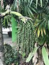 Caryota urens or Solitary fishtail palm.