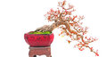 Cascade bonsai plant Royalty Free Stock Image