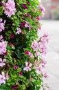 Cascade geranium (pelargonium peltatum) Royalty Free Stock Photo
