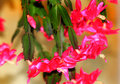 Cascading christmas cactus pretty pink down shallow depth of field Stock Photo