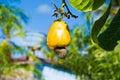 Cashew fruit Stock Image