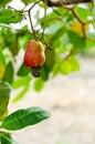 Cashew nut Royalty Free Stock Photo