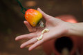 Cashew nut and fruit Royalty Free Stock Photo