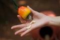 Cashew nut and fruit Royalty Free Stock Photo