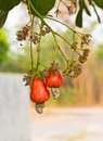 Cashew nuts growing on a tree this extraordinary nut grows outside the fruit Royalty Free Stock Photos