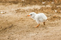 Caspian tern chick single very young running along dirt bank Royalty Free Stock Photography